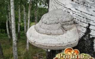Что значит трутовые грибы?