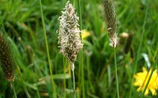 Феоцерос гладкий: описание с фото, где растет, свойства