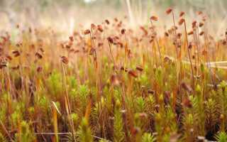 Политрих, или политрихум можжевельниковый (Кукушкин лён): описание с фото, где растет, свойства