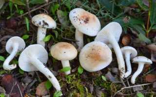 Гигрофор буковый: описание вида и где растет, фото