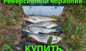 Гиропорус синеющий (Gyroporus cyanescens) фото и описание