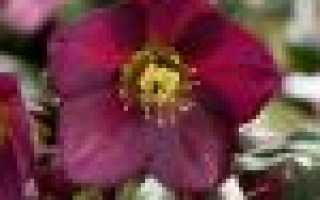 Морозник кавказский: описание сорта с фото, отзывы, посадка и уход