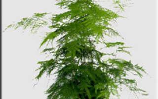 Гаспарриния изящная: описание с фото, где растет, свойства