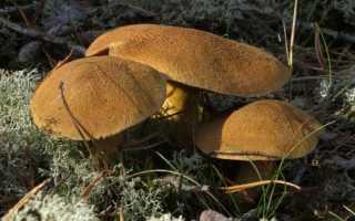 Навозник обыкновенный: описание вида и где растет, фото