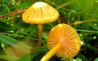 Гигроцибе Восковая: описание вида и где растет, фото