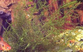 Лептодикций, или лептодикциум береговой: описание с фото, где растет, свойства