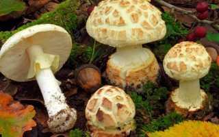 Мухомор поганковидный: описание вида и где растет, фото