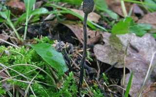 Кордицепс серо-пепельный: описание вида и где растет, фото