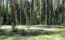 Кладония маргариткоцветная: описание с фото, где растет, свойства