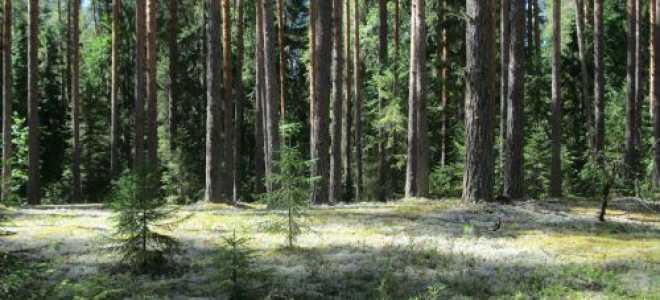 Стереокаулон войлочный: описание с фото, где растет, свойства