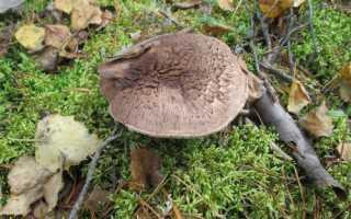 Ежовик пестрый: описание вида и где растет, фото