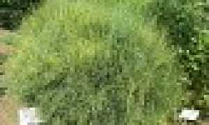 Эфедра хвощевая: описание сорта с фото, отзывы, посадка и уход