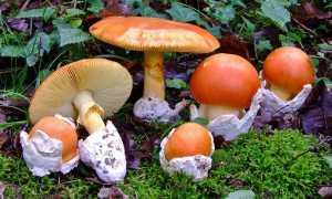 Мухомор королевский: описание вида и где растет, фото