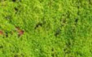 Гипн, или гипнум бледноватый: описание с фото, где растет, свойства