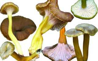 Омфалотус масличный: описание вида и где растет, фото