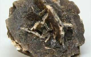 Плагиохила порелловидная: описание с фото, где растет, свойства