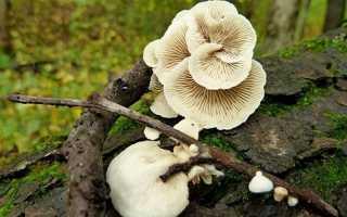 Крепидот изменчивый: описание вида и где растет, фото