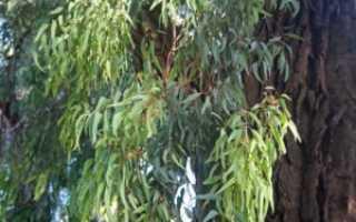 Энкалипта обыкновенная: описание с фото, где растет, свойства