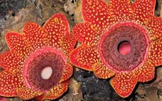 Пилезия многоцветковая: описание с фото, где растет, свойства
