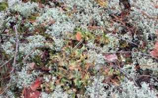 Пельтигера пупырчатая: описание с фото, где растет, свойства