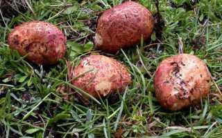Ризопогон розоватый: описание вида и где растет, фото