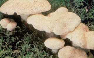 Трутовик овечий: описание вида и где растет, фото