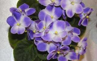 Фисция аиполия: описание с фото, где растет, свойства