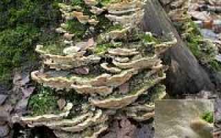 Гетеробазидион многолетний: описание вида и где растет, фото