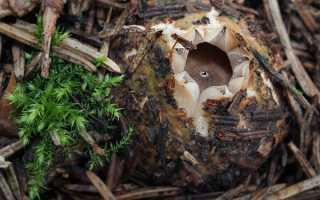 Звездовик бахромчатый: описание вида и где растет, фото