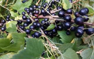 Смородина черная: описание сорта с фото, отзывы, посадка и уход