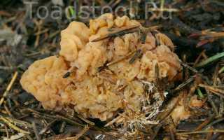 Сизигоспора гриболюбивая: описание вида и где растет, фото