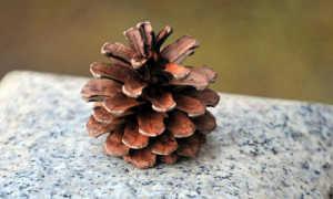 Лепиота ядовитая: описание вида и где растет, фото