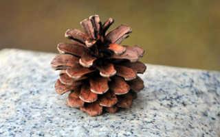 Зонтик Моргана: описание вида и где растет, фото