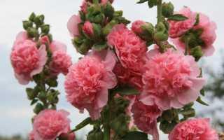 Шток-роза: описание сорта с фото, отзывы, посадка и уход