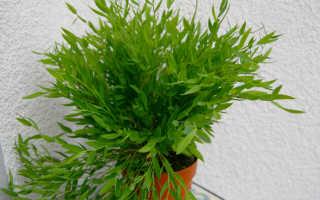 Погонат, или погонатум алоэвидный: описание с фото, где растет, свойства