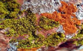 Аспицилия съедобная: описание с фото, где растет, свойства