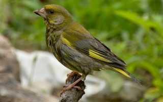 Зеленушка: описание вида и где растет, фото