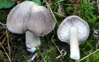 Рядовка землисто-серая: описание вида и где растет, фото