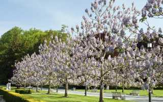 Филонотис войлочный: описание с фото, где растет, свойства