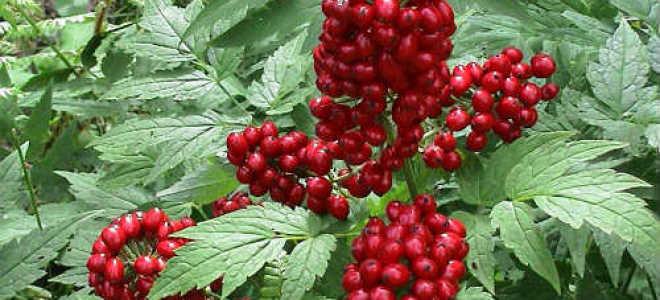 Воронец красноплодный: описание вида и где растет, фото