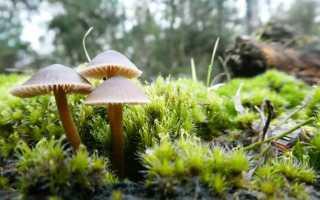 Мицена колпаковидная: описание вида и где растет, фото