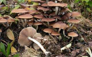Псатирелла шаровидная: описание вида и где растет, фото