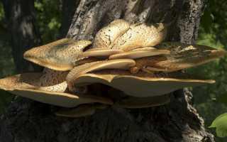Трутовик чешуйчатый: описание вида и где растет, фото