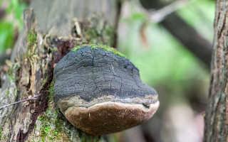 Феллинус черноограниченный: описание вида и где растет, фото