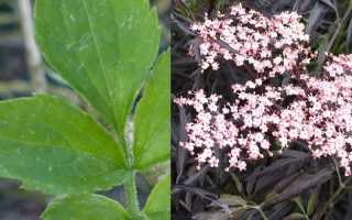 Лекерея согнутая, или черно-зеленая: описание с фото, где растет, свойства