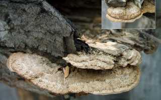 Глеофиллум бревенчатый: описание вида и где растет, фото