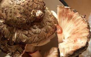 Грибы Зонтики (lat: Lepiota). Все виды зонтиков с фото и описанием
