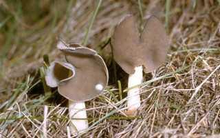 Лопастник упругий: описание вида и где растет, фото