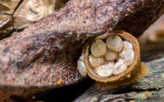 Бокальчик гладкий: описание вида и где растет, фото