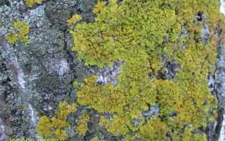 Ксантория постенная: описание с фото, где растет, свойства